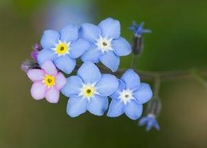 Las flores del nomeolvides son muy bonitas