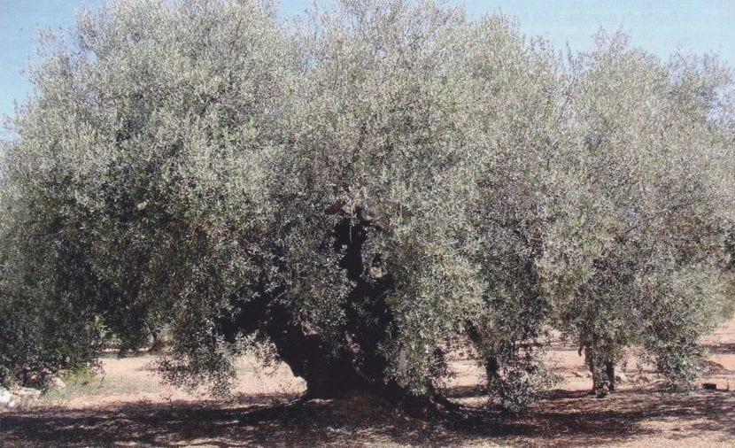 Olivo Farga