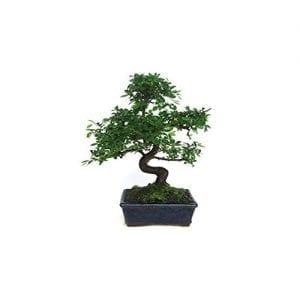 Olmo chino, un proyecto de bonsái