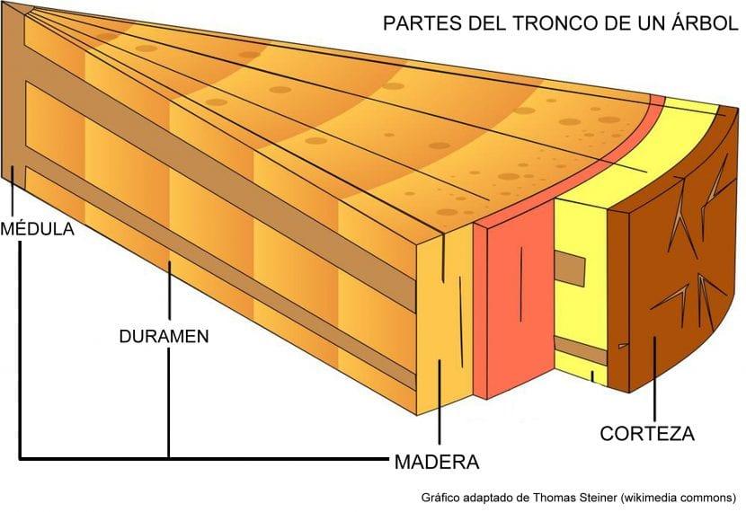 Partes del tronco