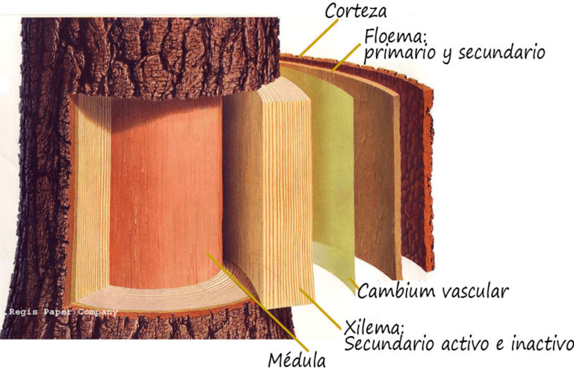 Partes del tronco de un árbol