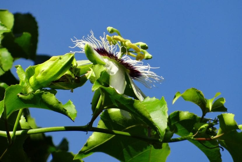 La Passiflora edulis es una planta trepadora