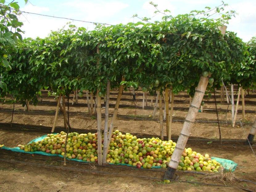 Vista de la Passiflora edulis cultivada en un huerto