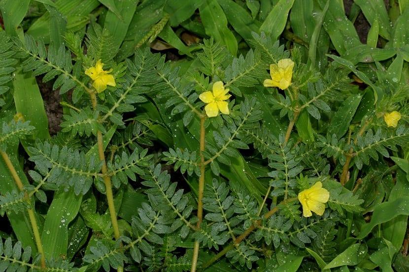 pequeñas flores amarillas rodeadas de hojas pequeñas y de color verde