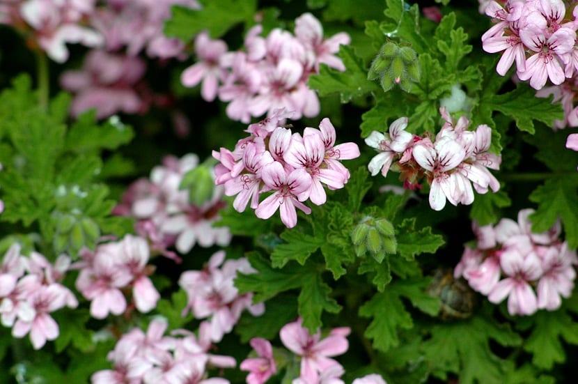 pequeñas flores con petalos de color rosaceo que desprenden olor