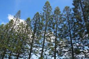 pinos de gran altura llamados Araucaria columnaris