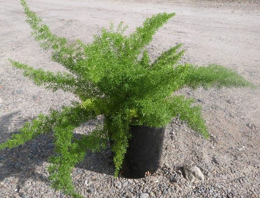 planta llamada Asparagus sprengeri en maceta