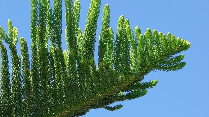 rama de color verde del pino cook o Araucaria columnaris