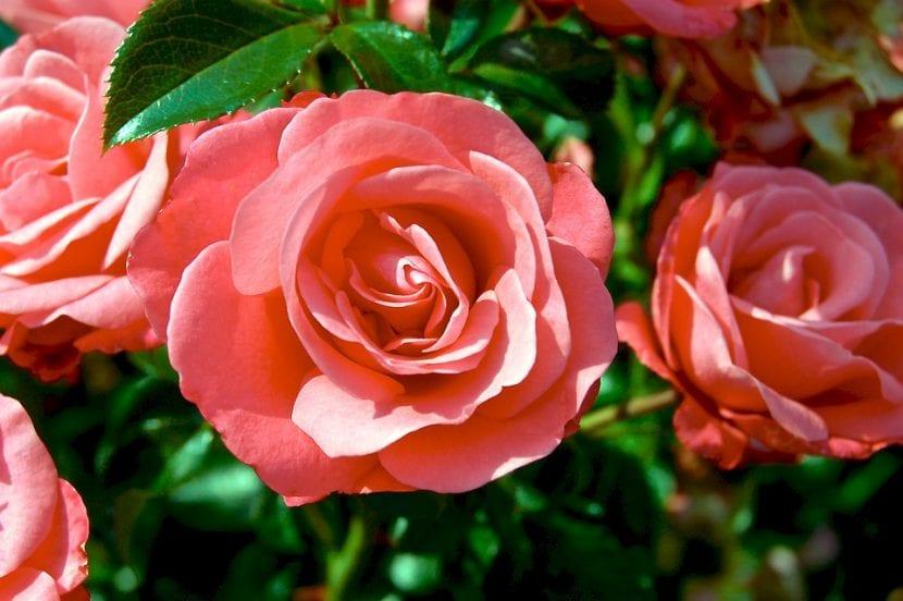 Flores de un rosal