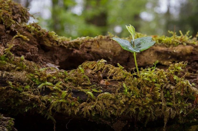Semilla germinada de árbol