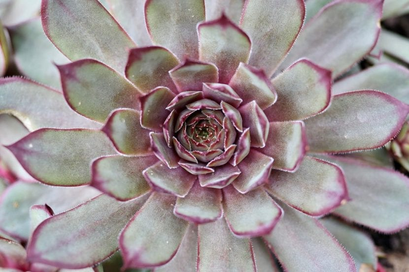 Sempervivum es una crasa CAM