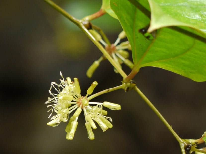 Flor de la Smilax