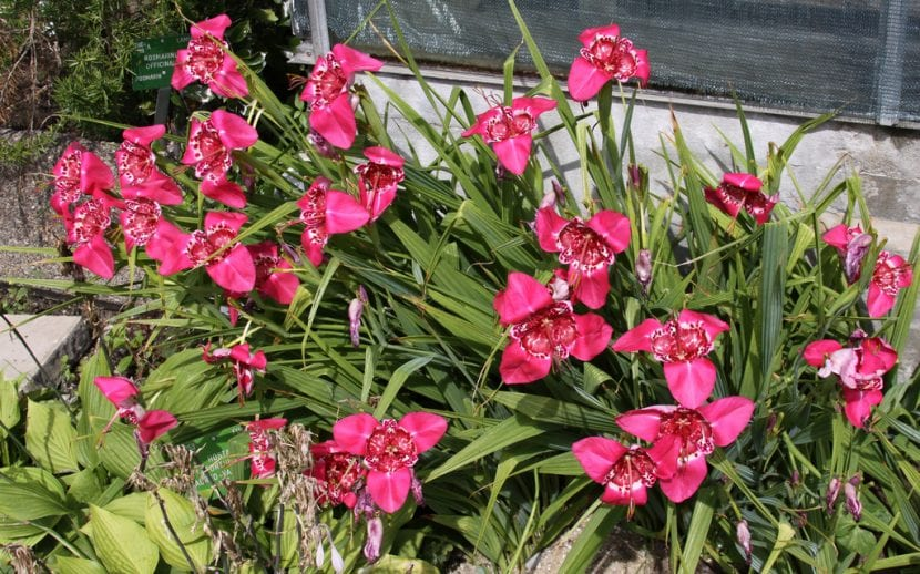 Flores de Tigridia rosa