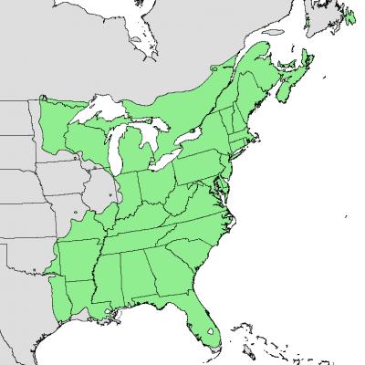 El Acer rubrum es de América del Norte