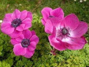 Flor rosa de Anemone coronaria