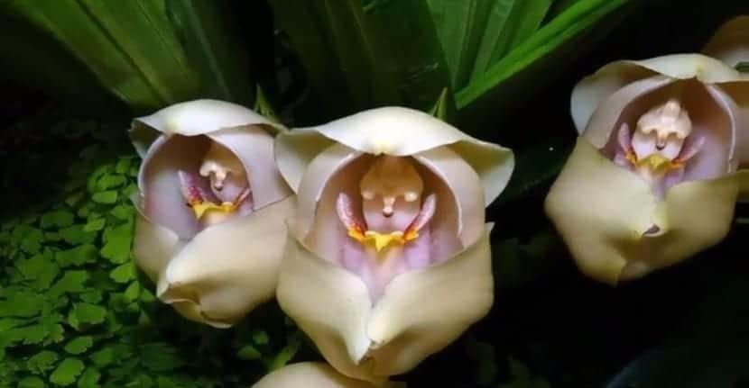 Anguloa uniflora