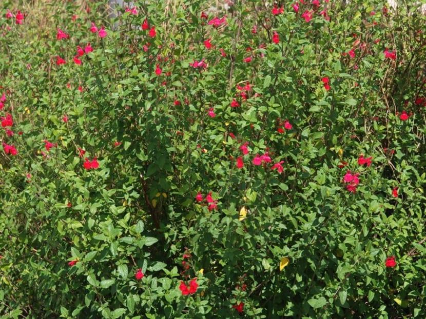 Arbusto de salvia microphylla