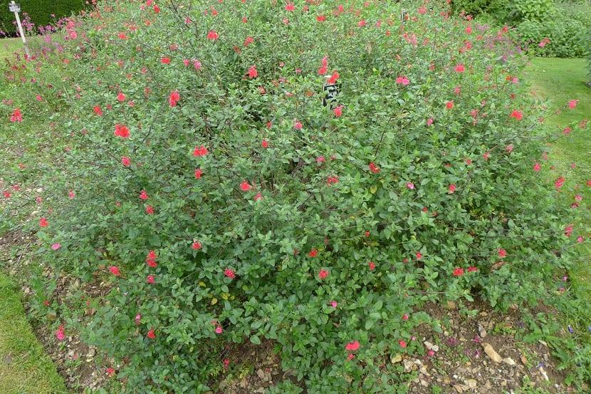 Arbusto de salvia rosa