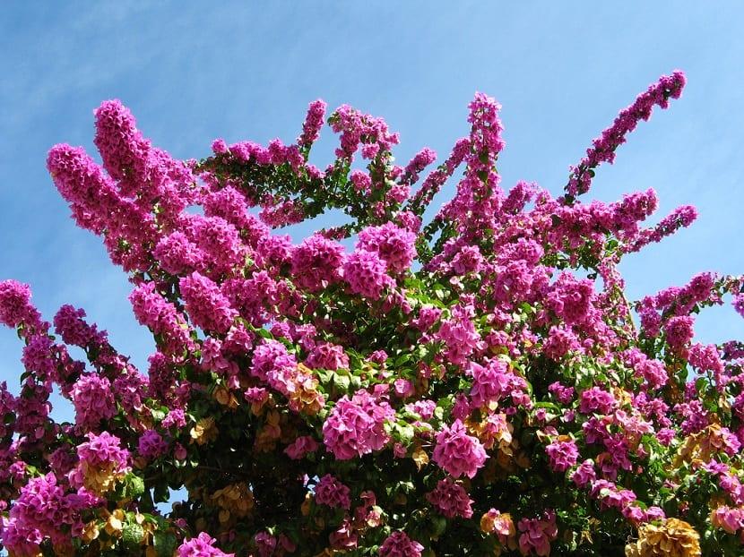Buganvilla spectabilis florecida
