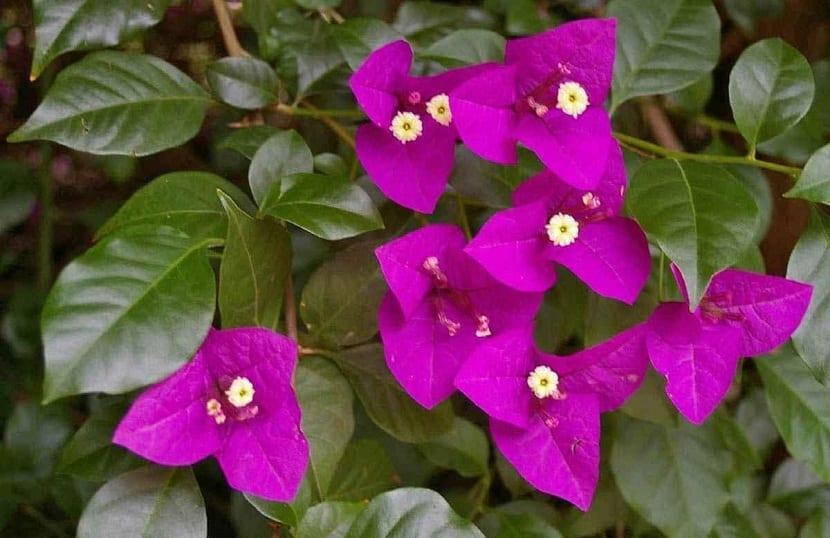 Buganvilla spectabilis flores