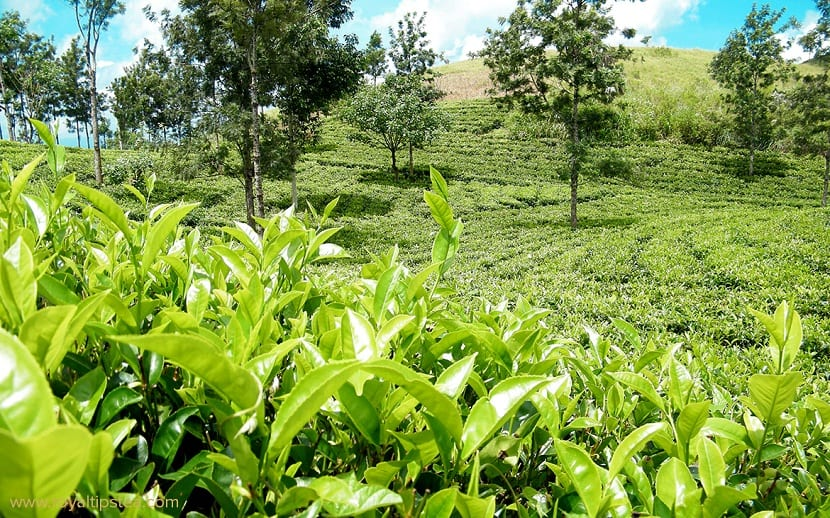 Camellia sinensis para el té