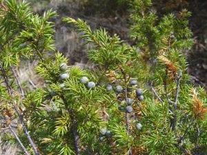 Caracteristicas del Juniperus