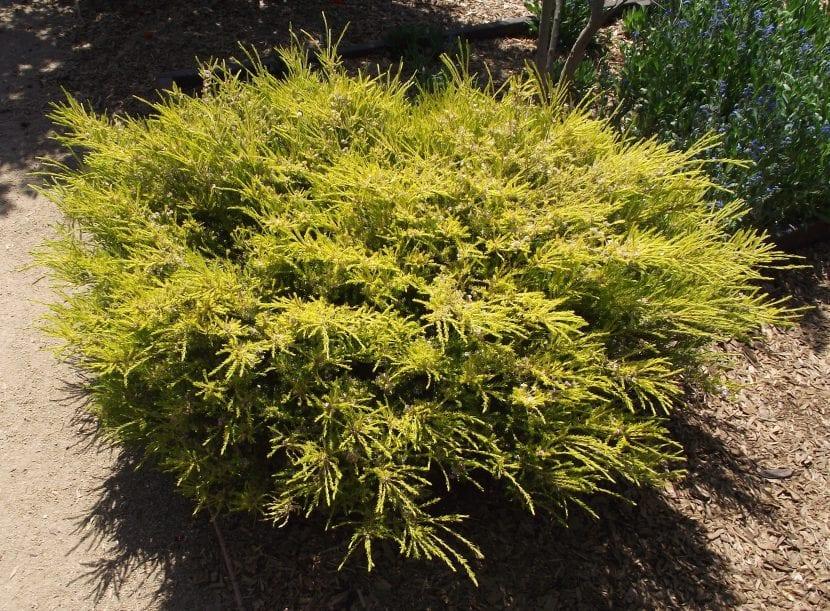 Coleonema pulchrum 'Pacific Gold'