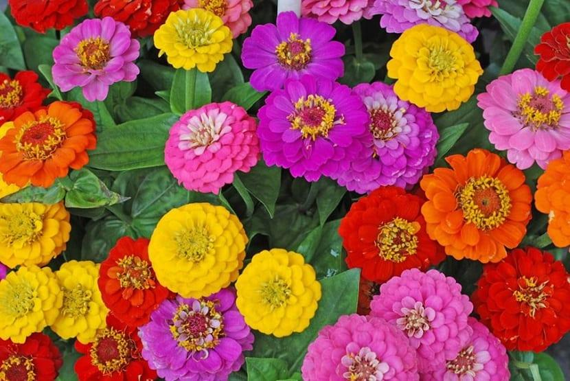 Coloridos de las zinnia