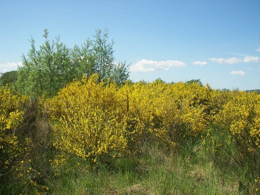 El Cytisus scoparius es un arbusto de clima templado