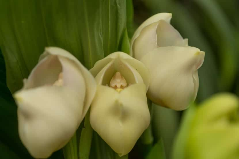 Detalle de anguloa uniflora