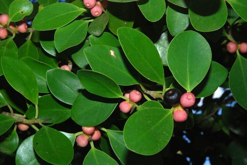 Detalle del Ficus microcarpa