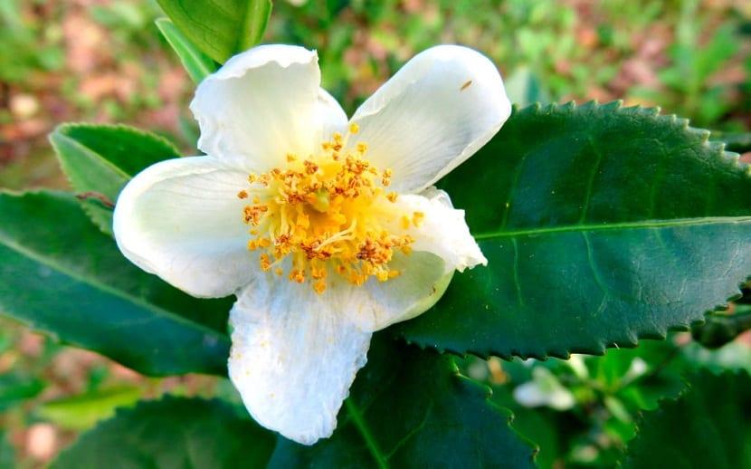 Flor de la Camellia sinensis