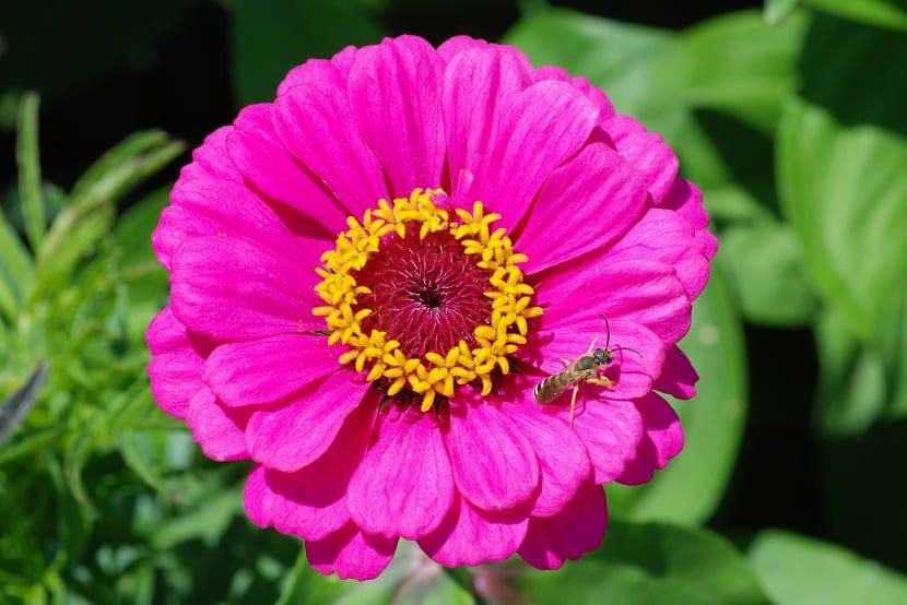 Flor de la zinnia