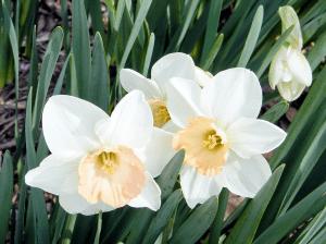 Flores de narcisos blancos abiertas totalmente