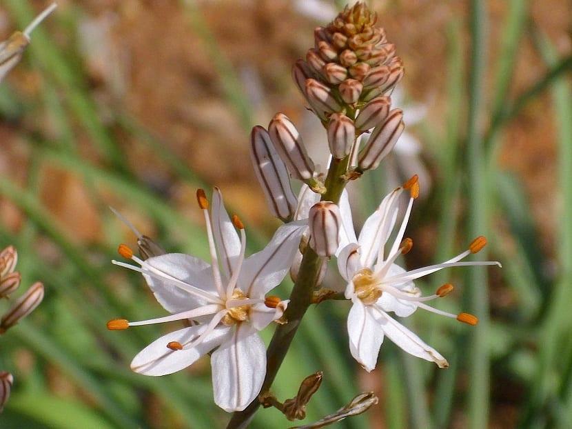 Flores del Asphodelus fistulosus
