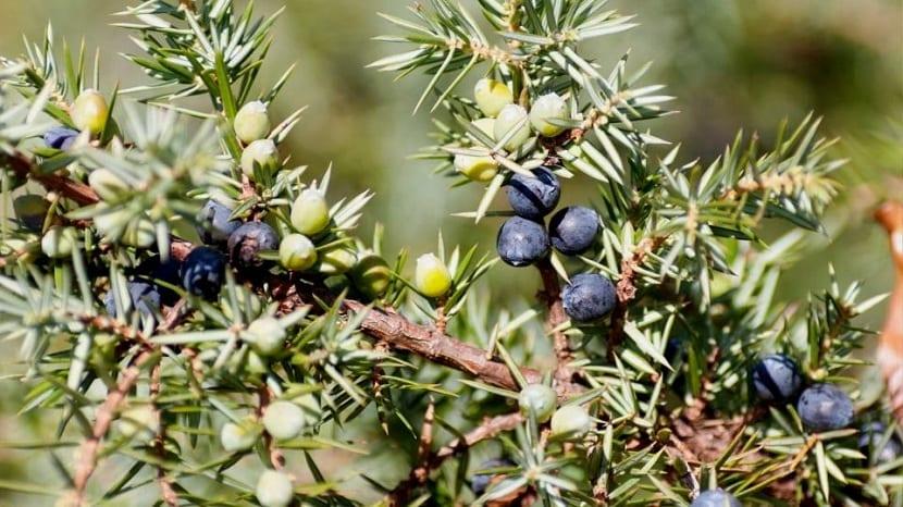 Frutos del juniperus
