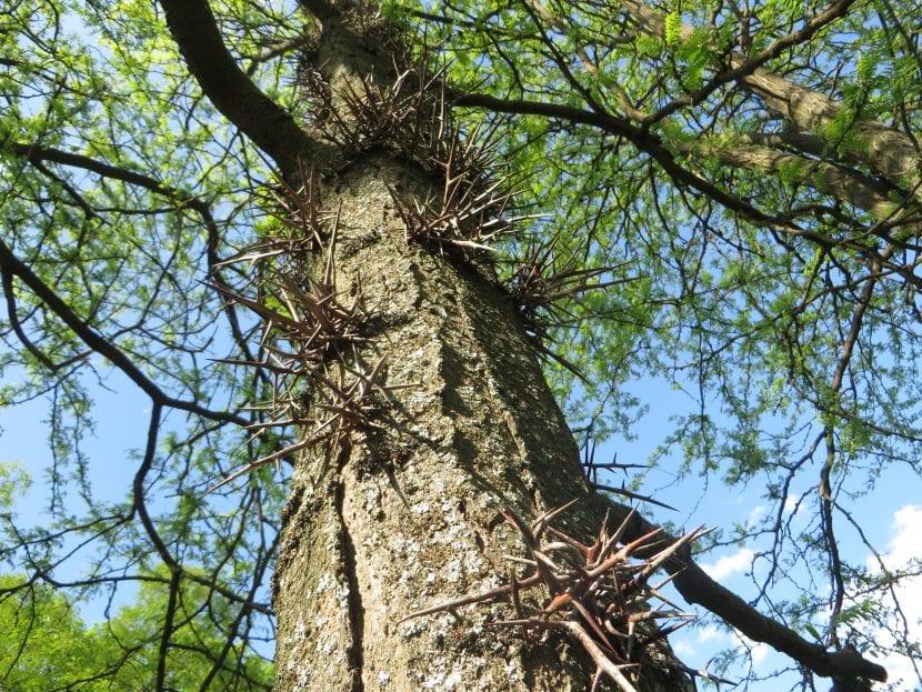 El tronco de la Gleditsia es alto y recto