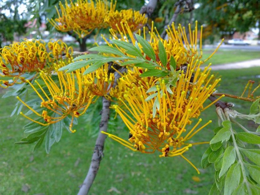 Vista de las hojas y flores de la Grevillea robusta