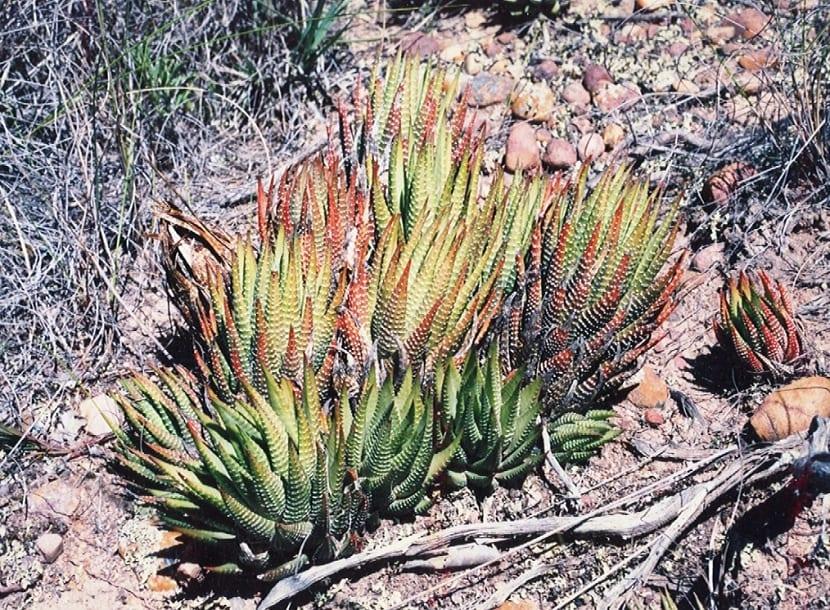 Haworthia fasciata en su habitat natural