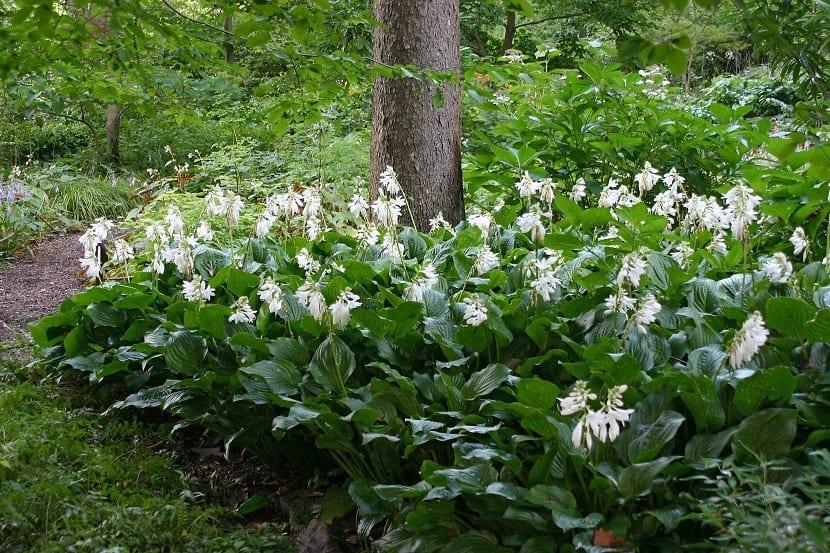 Flores de la hosta