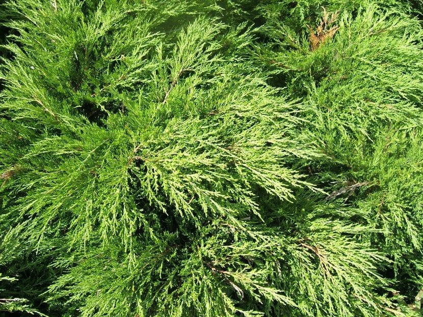 Las hojas del Juniperus sabina son perennes
