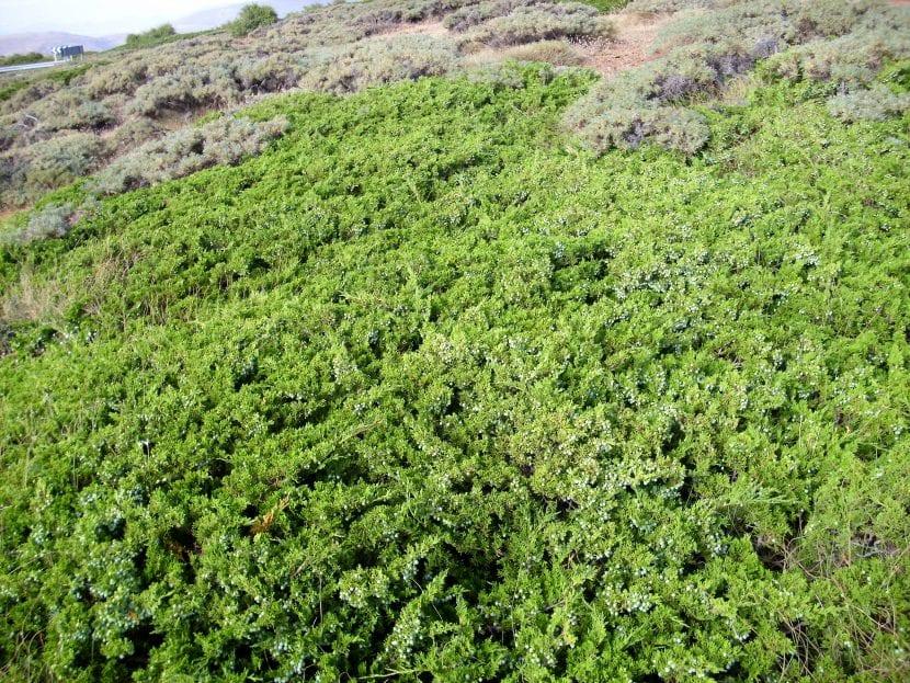 El Juniperus sabina crece en campos abiertos