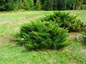 Vista del Juniperus sabina