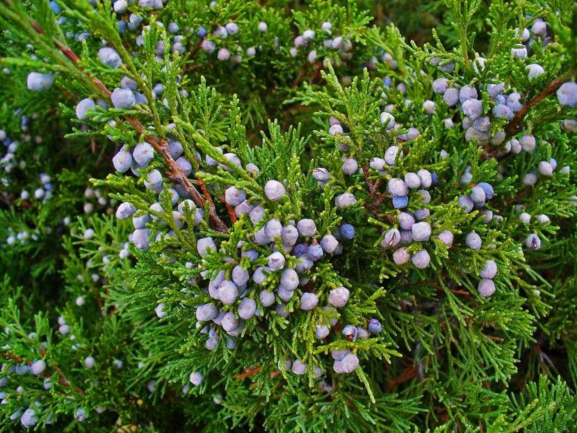 Los frutos del Juniperus sabina son pequeños