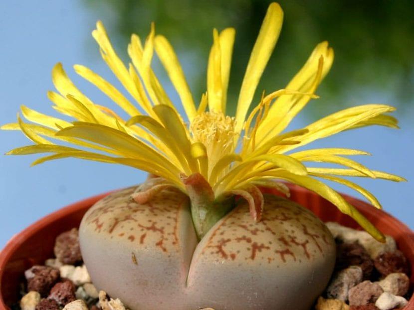 Lithops pseudotrucantella en flor