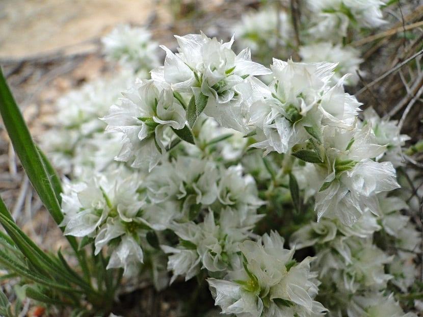 Preciosas flores de color blanco llamadas Paronychia argentea