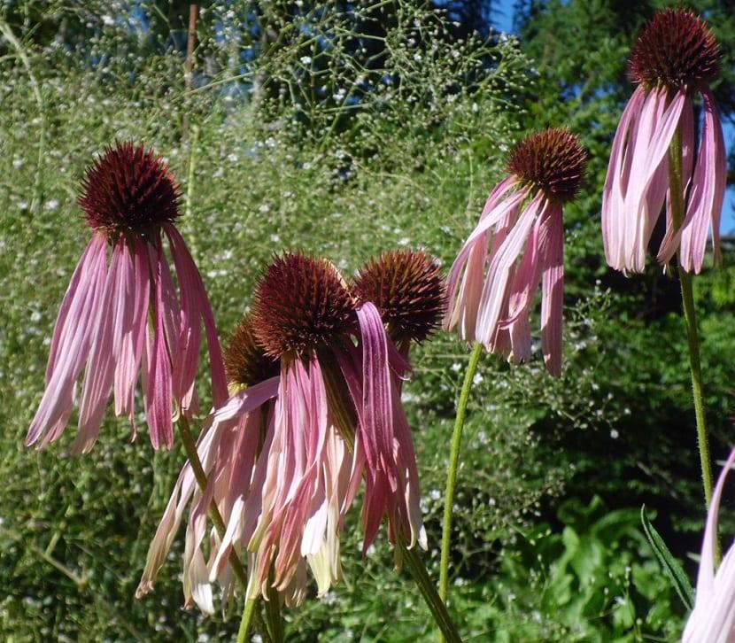 Propiedades medicinales de Echinacea angustifolia