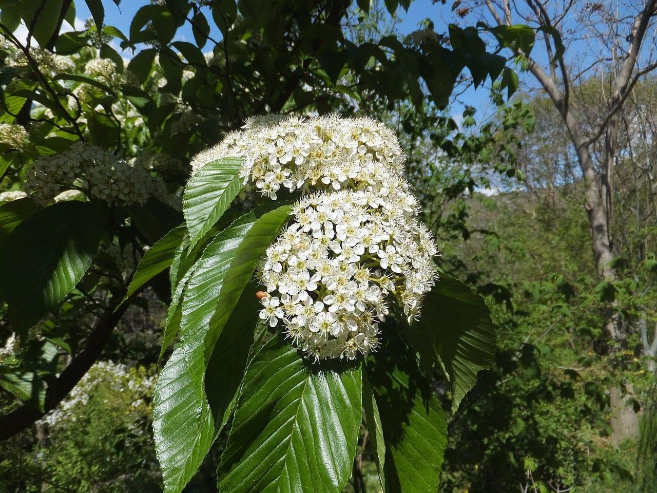 Las flores del Prunus serotina son blancas