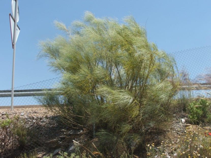 La retama es un arbusto muy decorativo
