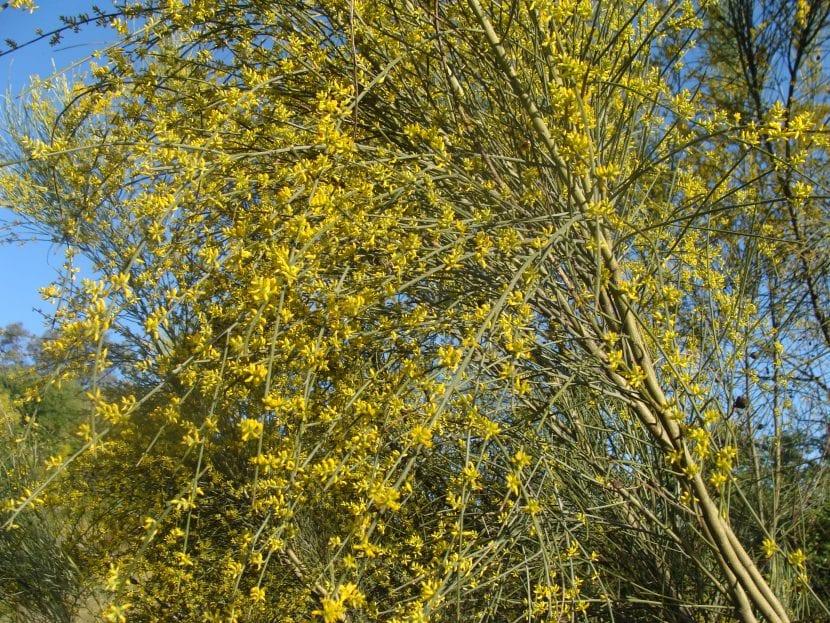 Las flores de la retama sphaerocarpa son amarillas